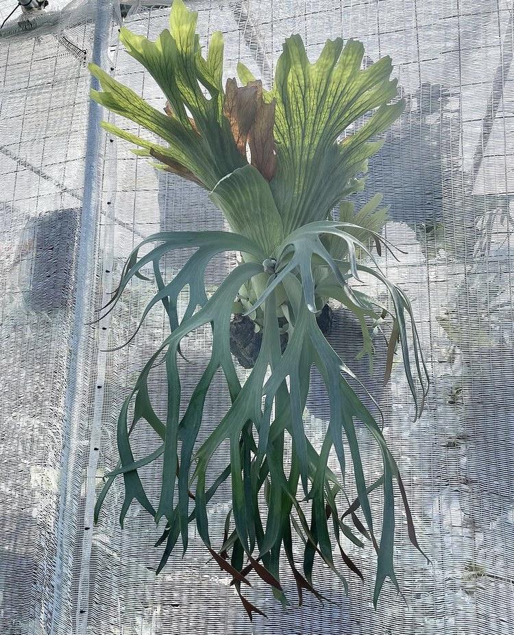 ビカクシダ ウィリンキー platycerium willinckii コウモリランvandaka plants バンダカ プランツ