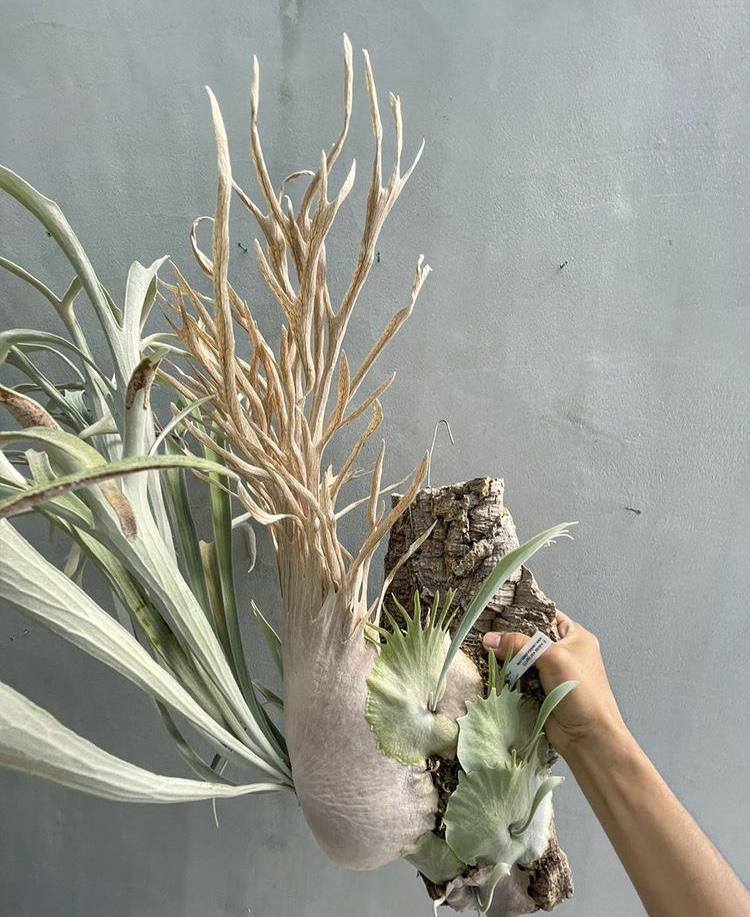 platycerium wild veitchii vp #17 ベイチ― ビーチ― ビカクシダ 原種 セレクト 株