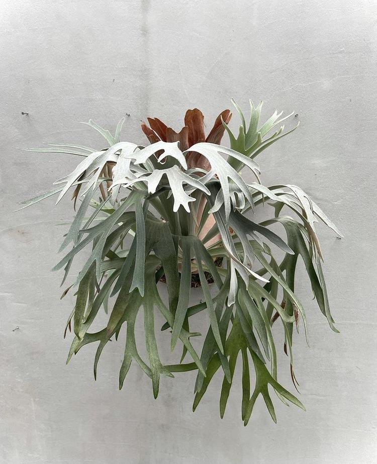ビカクシダ ヒリー ペガサス platycerium hillii Pegasus コウモリラン vandaka plants バンダカ プランツ